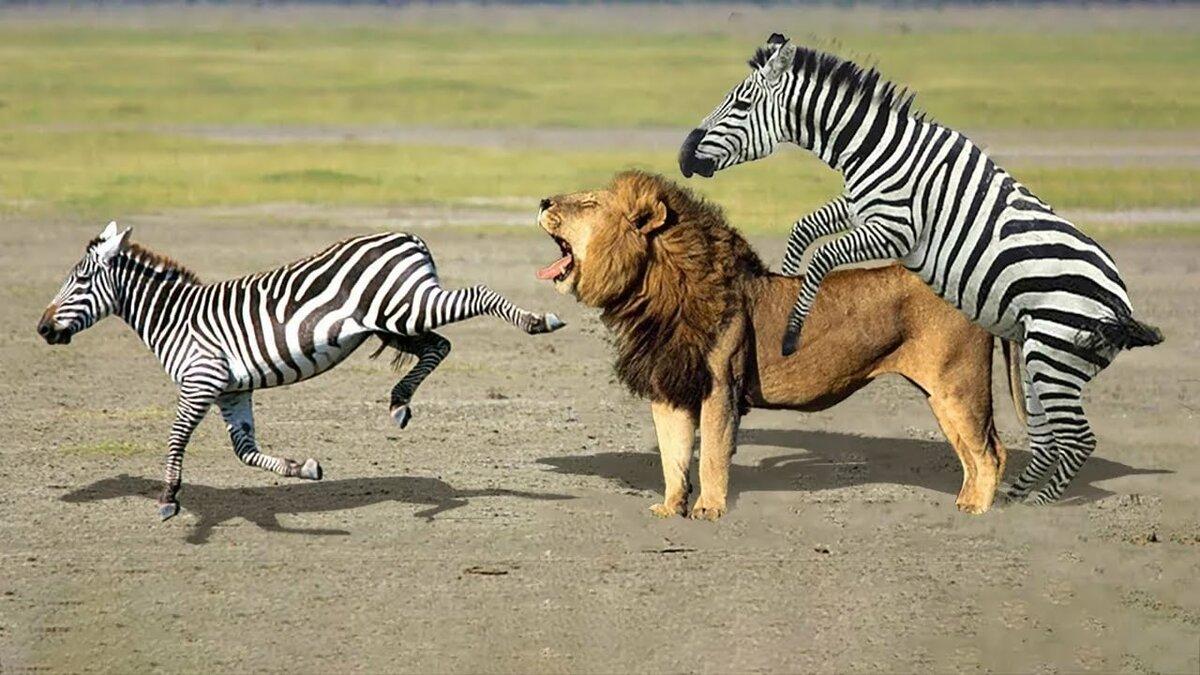 нынешнее картинки львов пантеры и зебра помощь