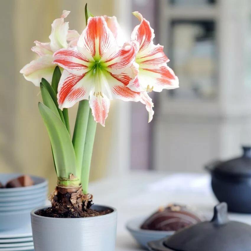 единственный районе цветок амариллис ствол без цветов фото сообщает