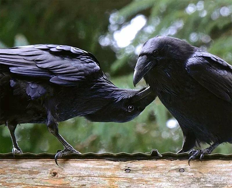 Картинка две вороны