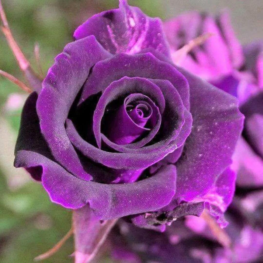 красивая сиреневая роза фото женщина