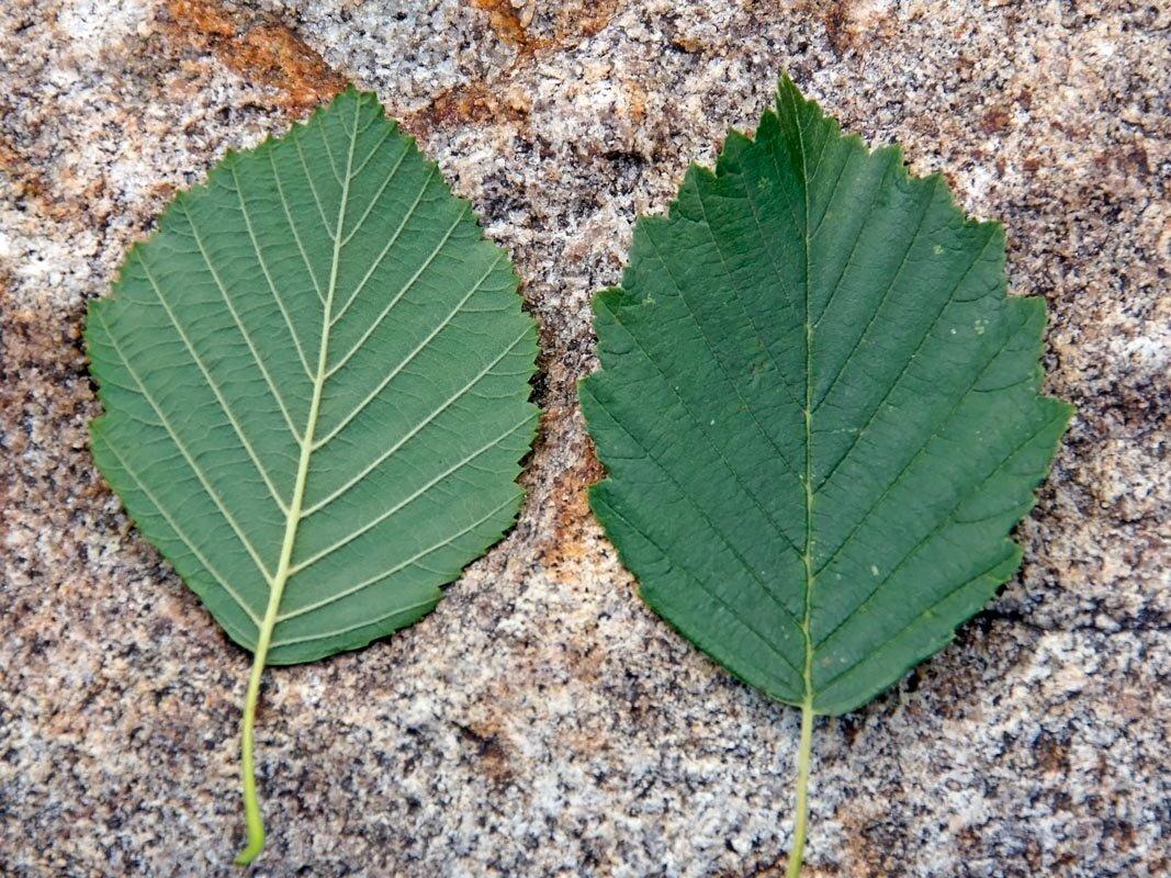 Картинка листья ольхи
