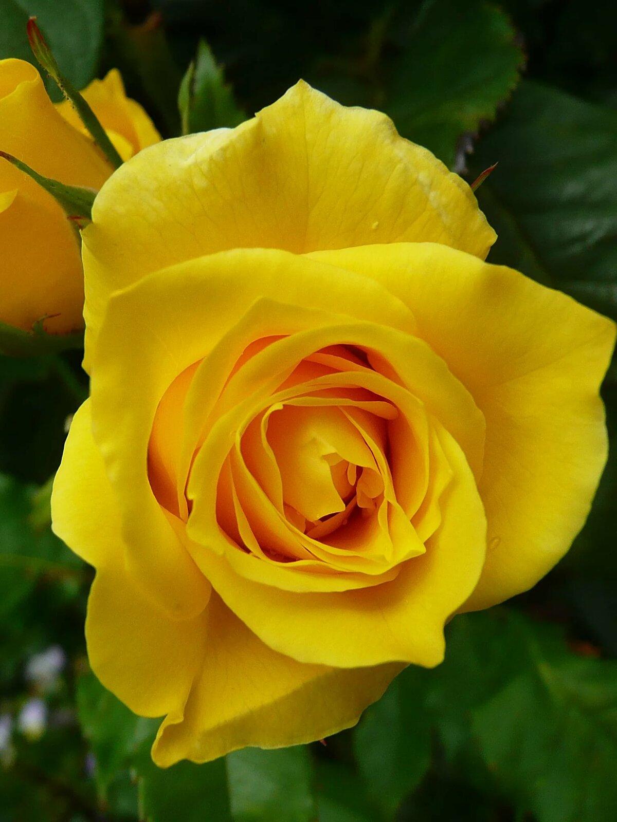 для желтые розы фотографии подошвы важно