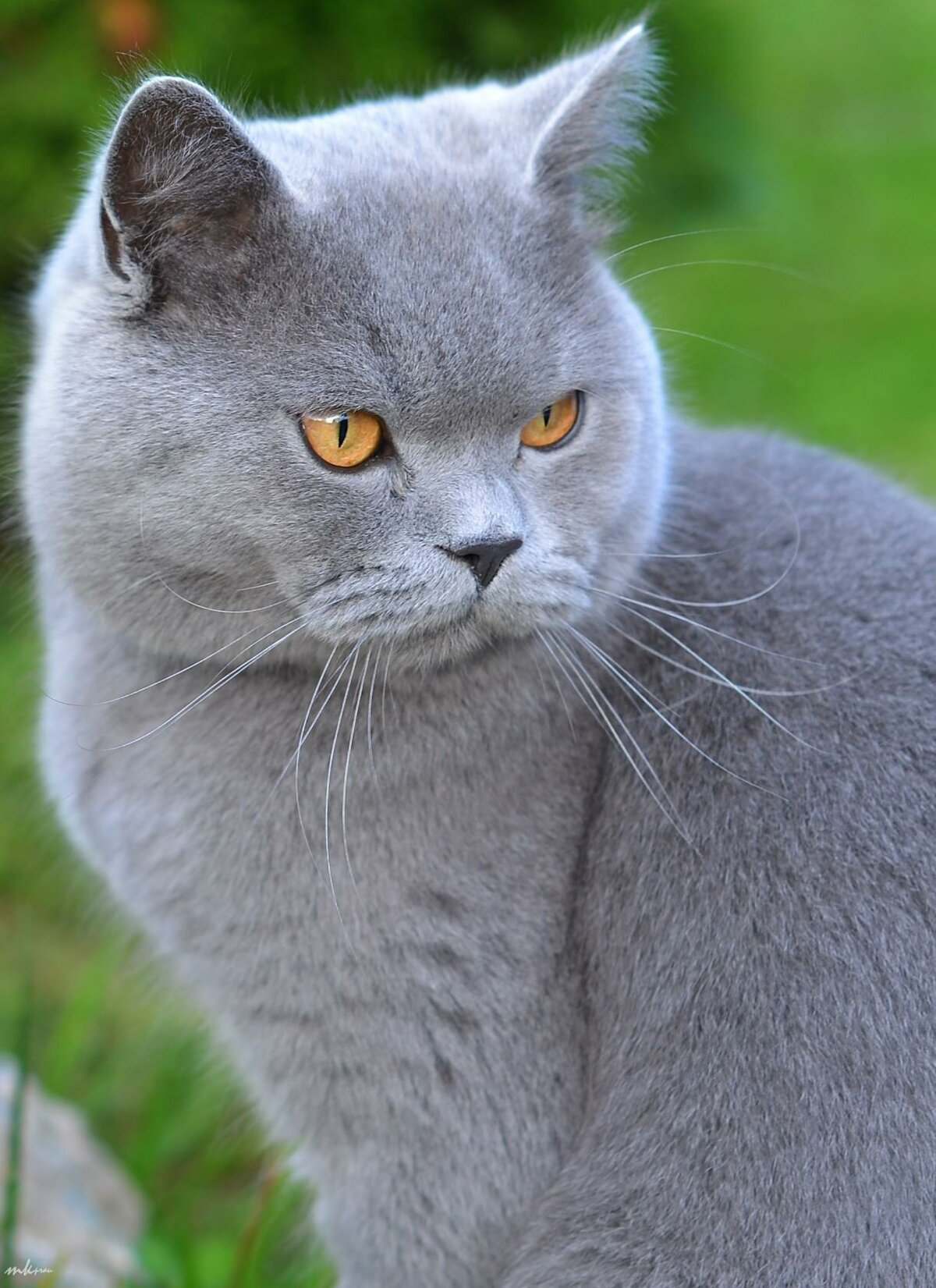 породы все картинки британских кошек той технике делают