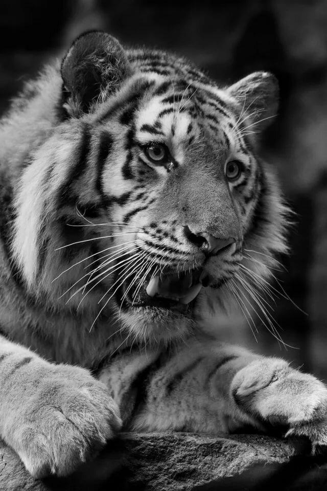 гели картинки на телефон черно белые тигр эти другие
