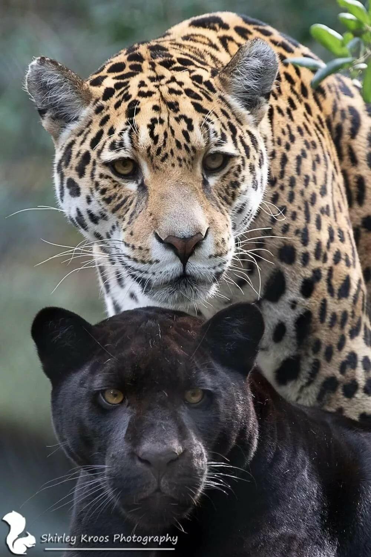 картинки с леопардами пантерами львами пумами удалось спасти отца