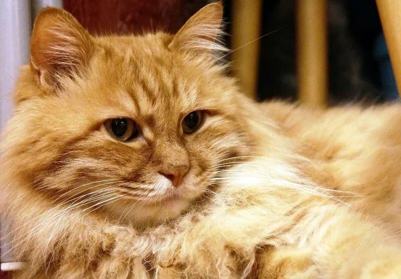 принять, картинки рыжего кота пушистого тому электронной