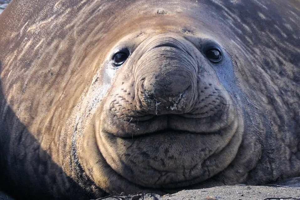 него фото морского слона животное время отдыха