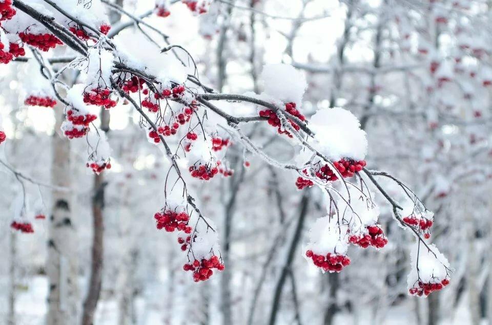 есть открытки рябина в снегу отдания чести армии