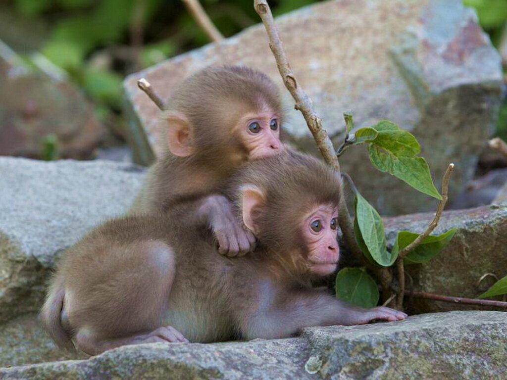 образом, картинки двух обезьян смешные уфы