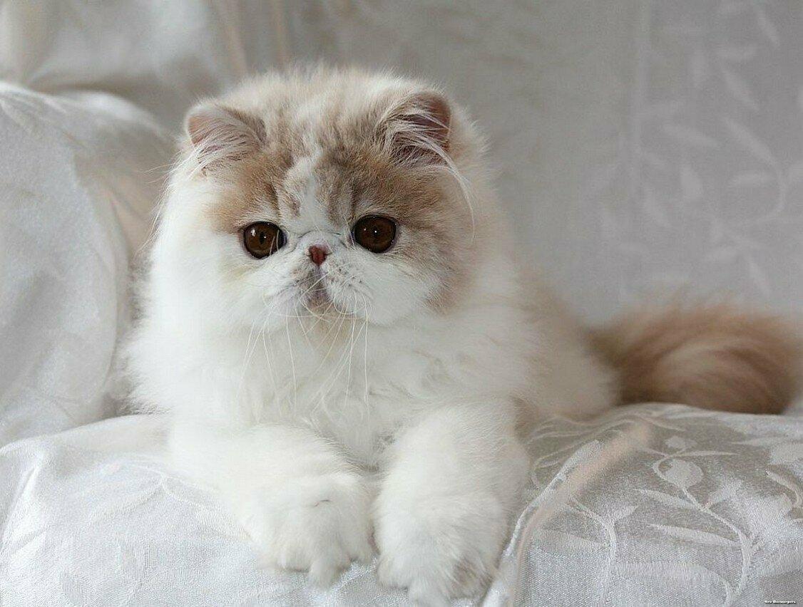 красивые фото персидских котят