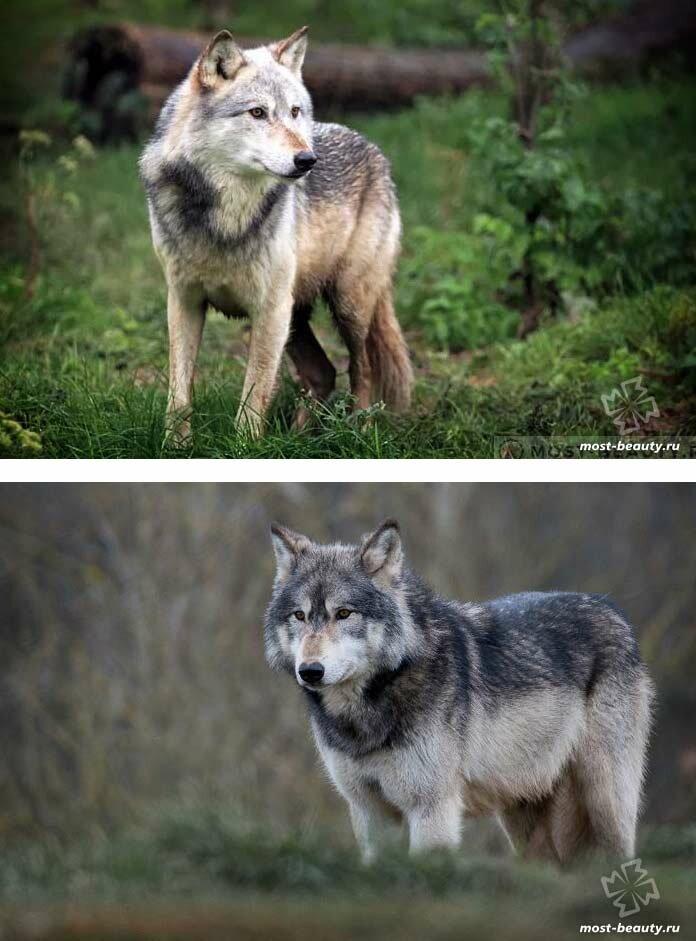 виды волков список и фото средства