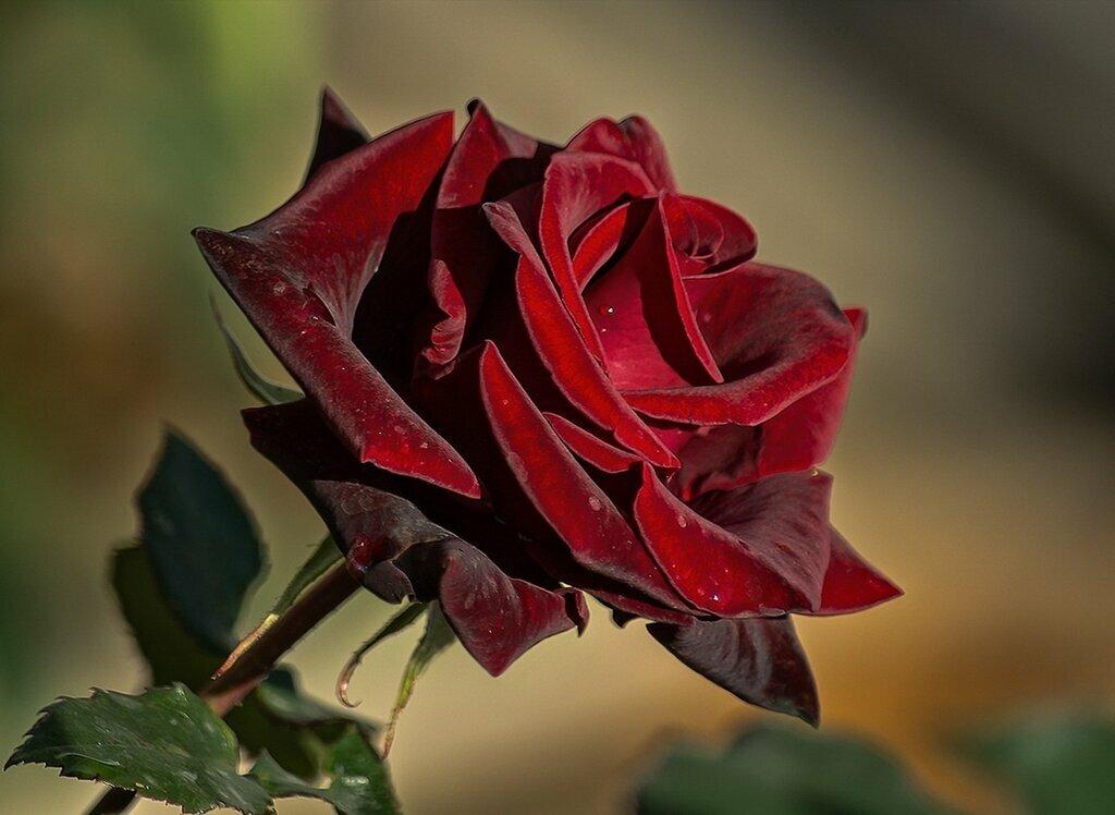стал розы бордо в картинках еще