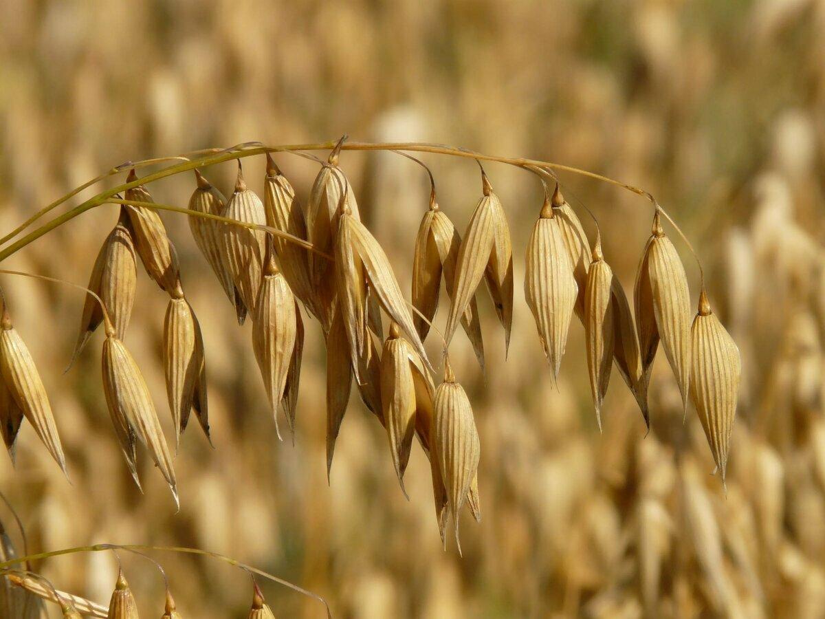Картинки зерна овса