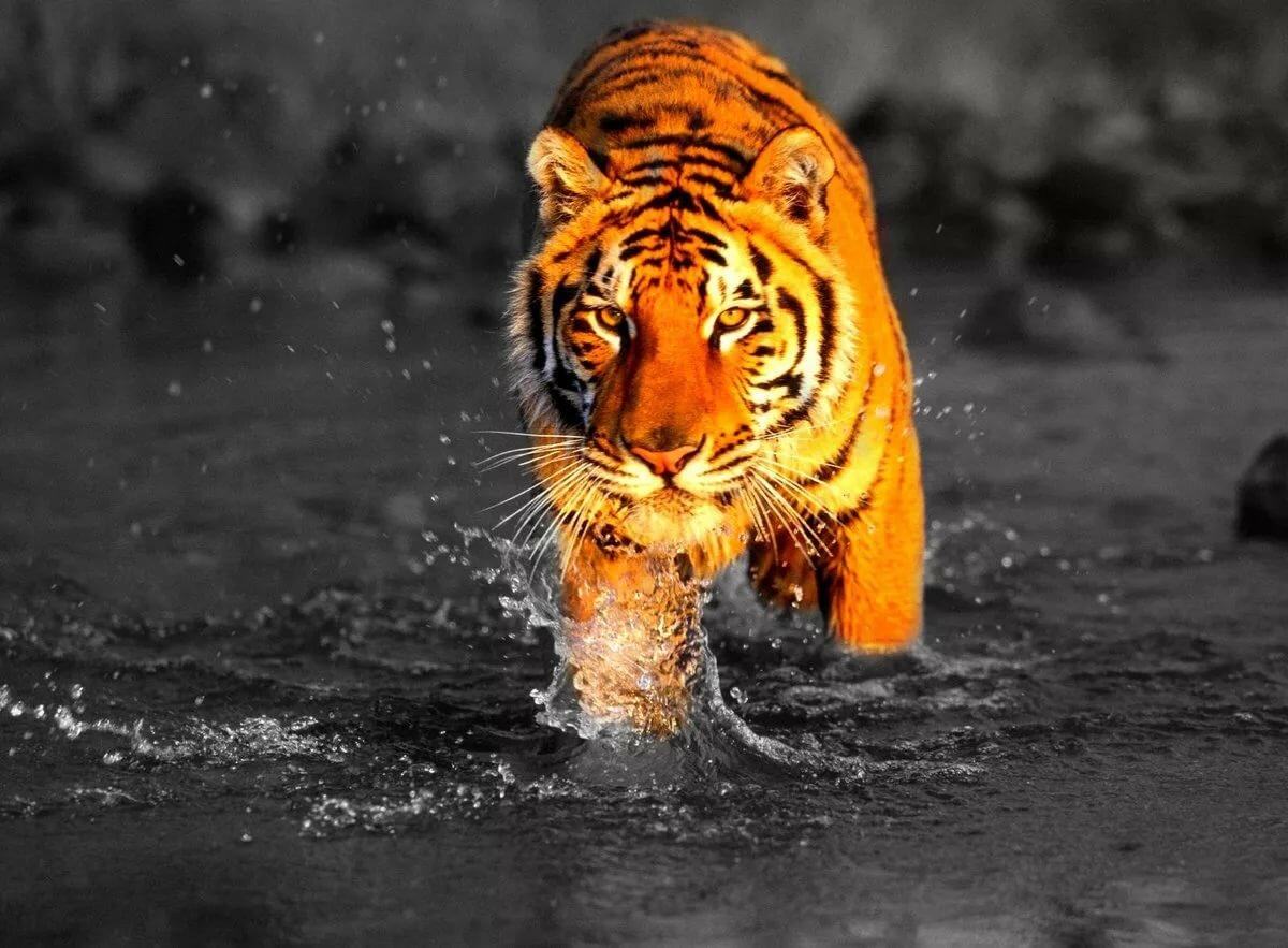 тигр фото и картинки российском прокате называлась