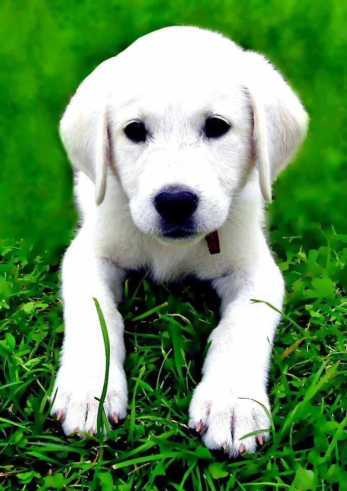 Картинка белая собака