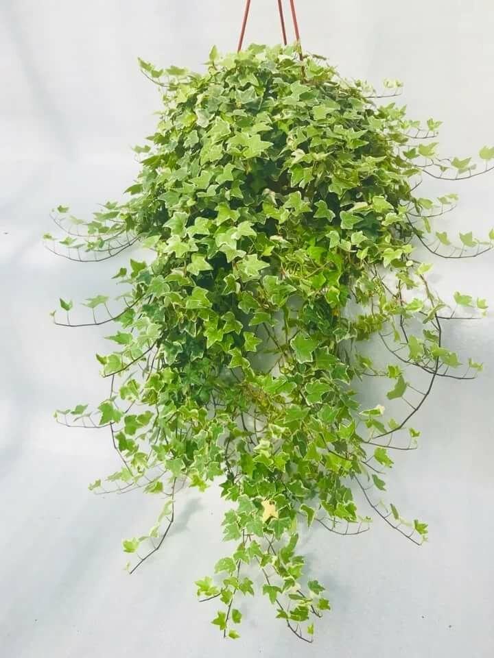 Ампельные комнатные растения фото с названиями