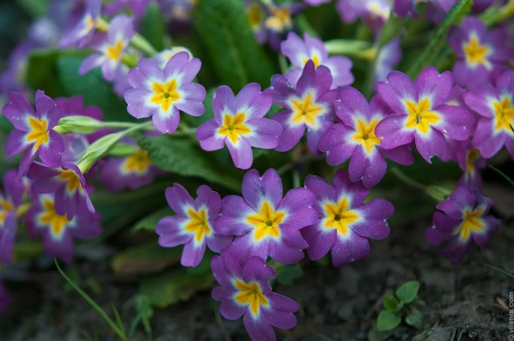 Весенние цветы картинки с названиями