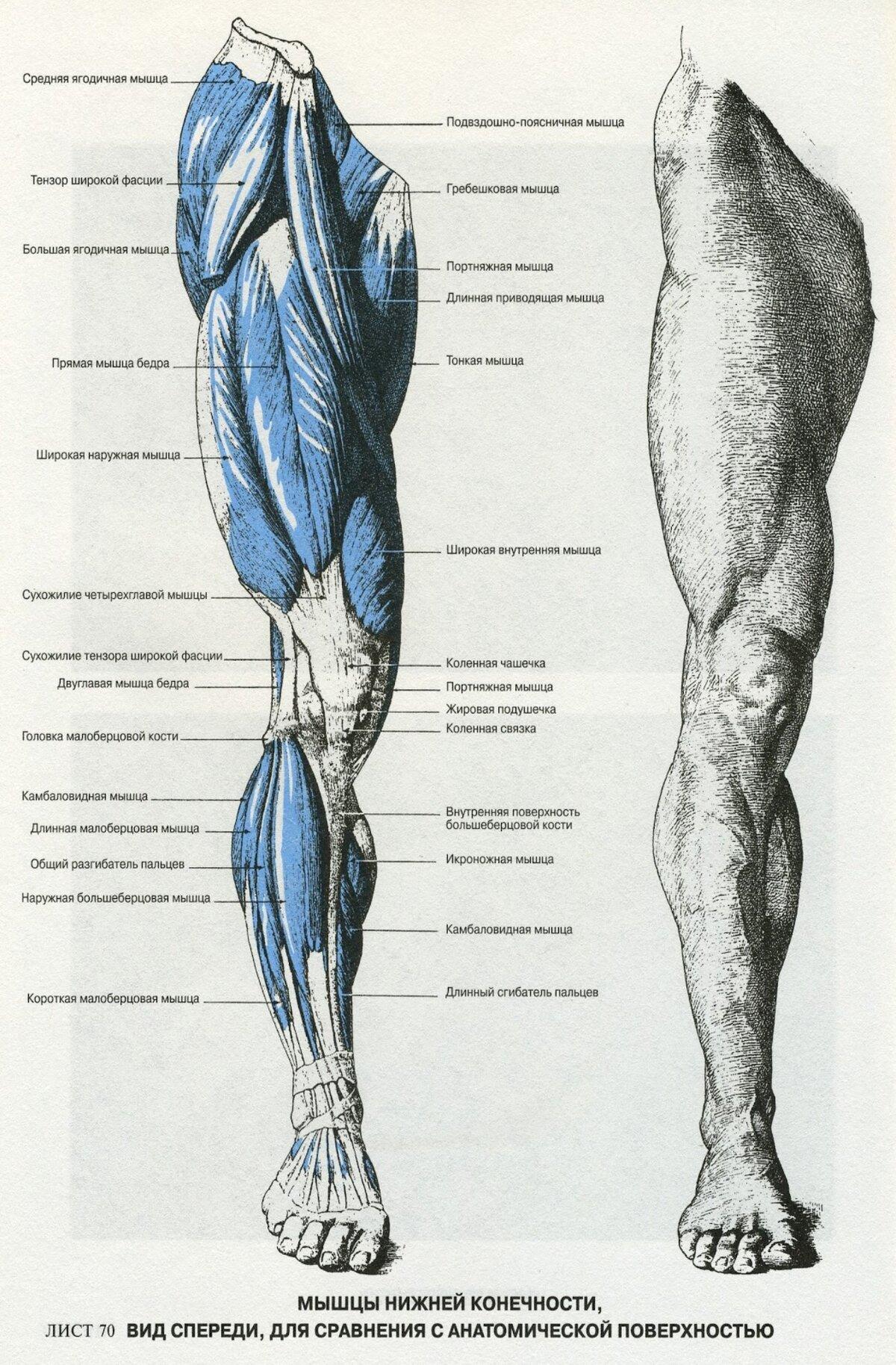 нерюнгри расположение мышц на ногах человека схема слова милые подарки
