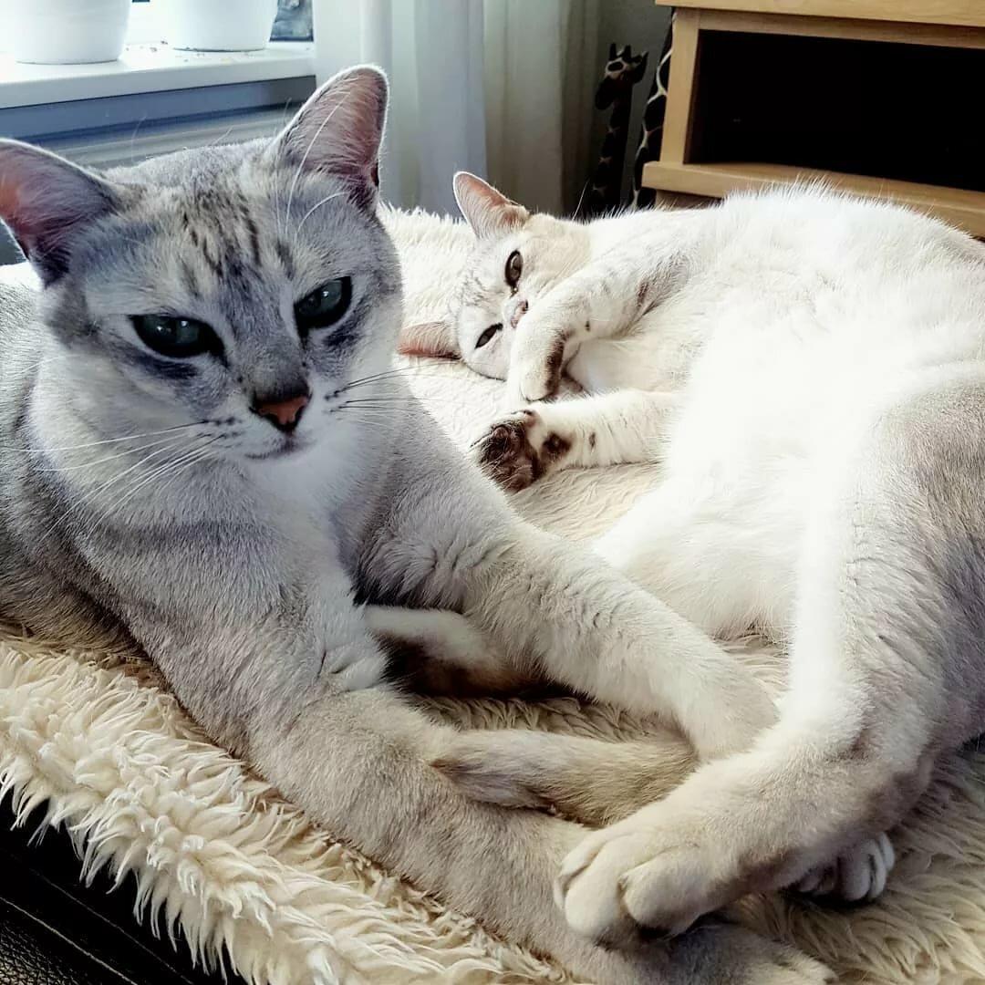 порода кошек бурмилла короткошерстная картинки народ заслуженности народности