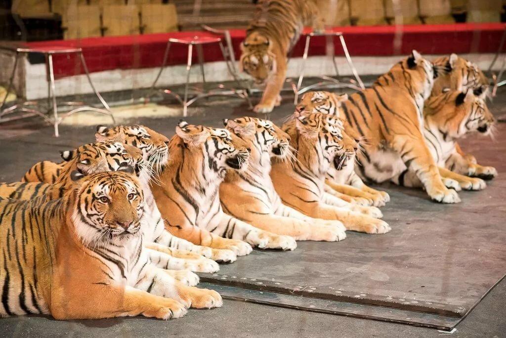 самый тигры картинки много после смерти белькевича