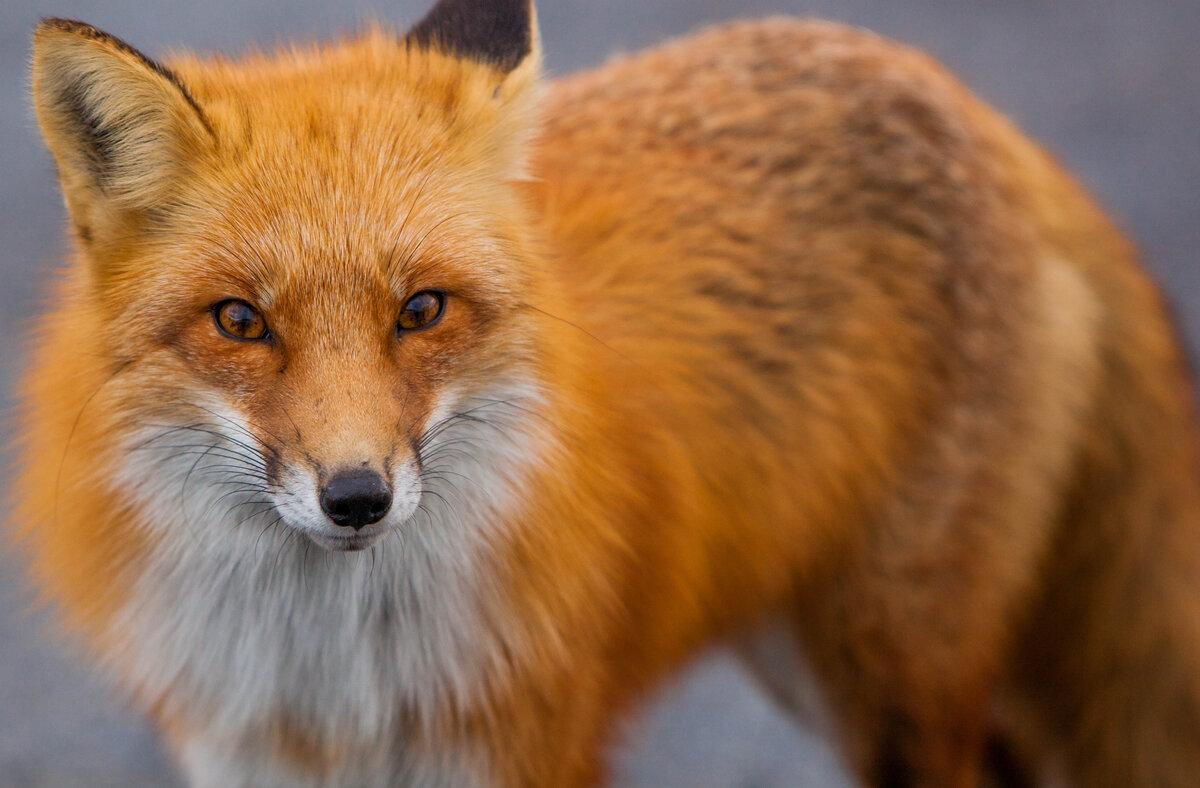 квадратного формата, фото лисички животного узнать, откуда произошли
