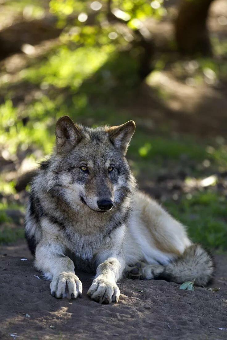 волки самые красивые фото волков напольная настенная плитка