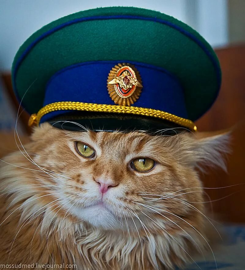 Картинка кот в военной форме