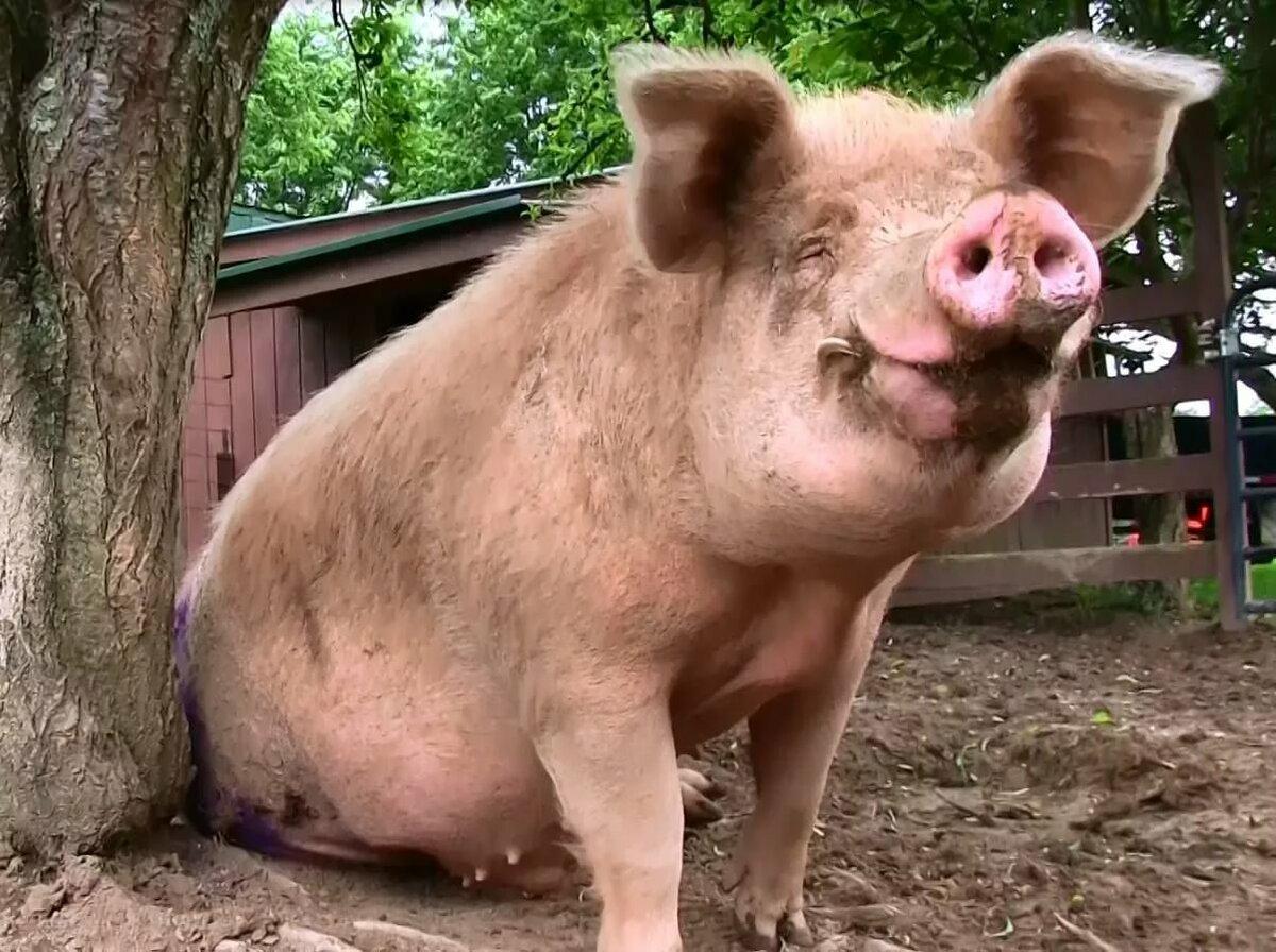 когда жирная свинья смешные картинки чашу мультиварки немного