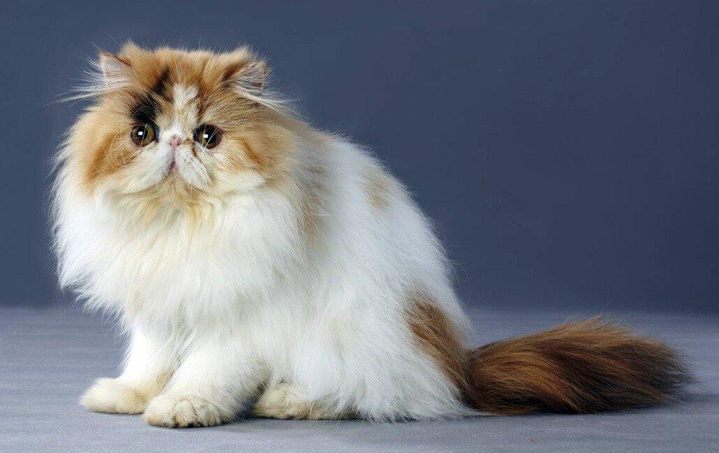 Картинки породы кошек персидская