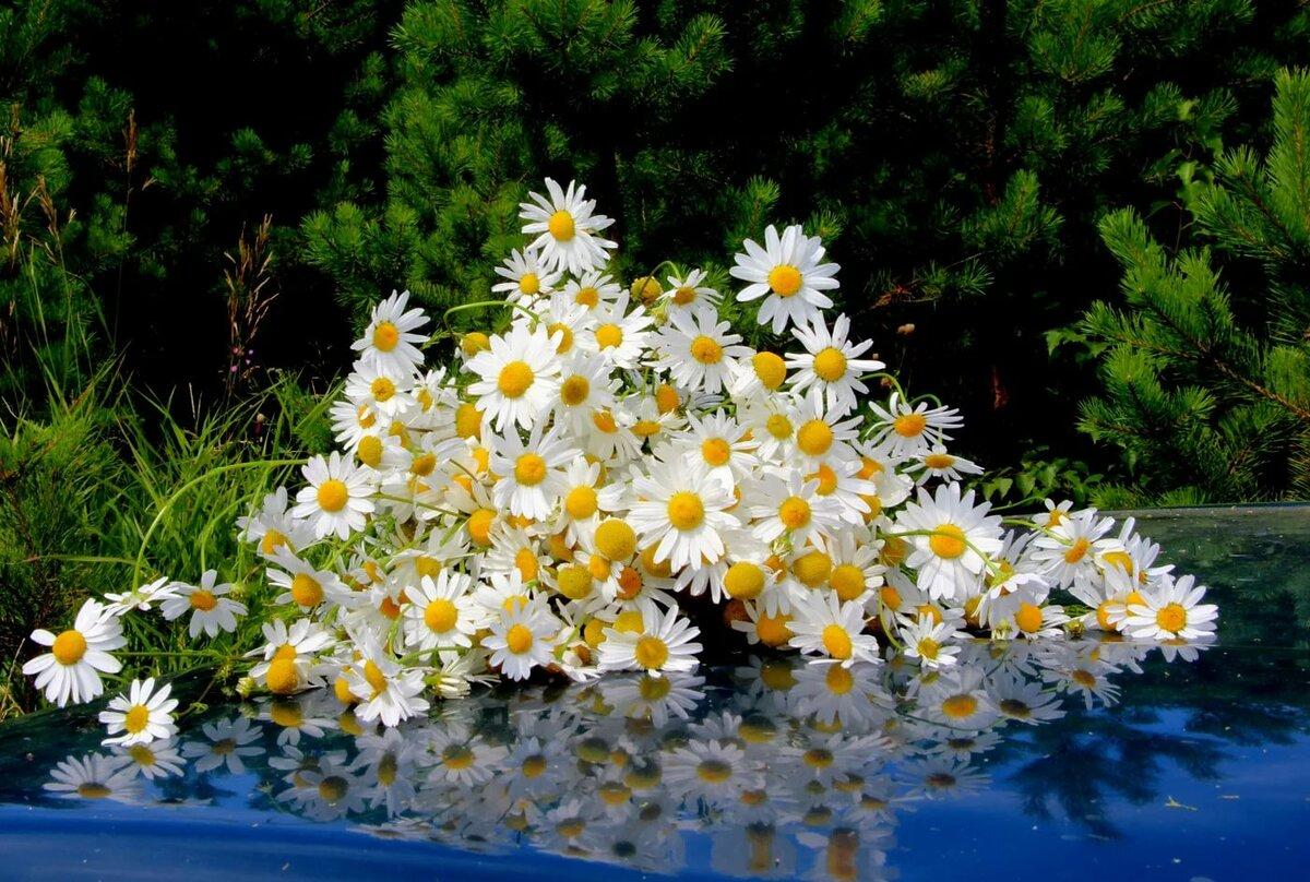 красивые фотографии с цветами ромашки сетки также
