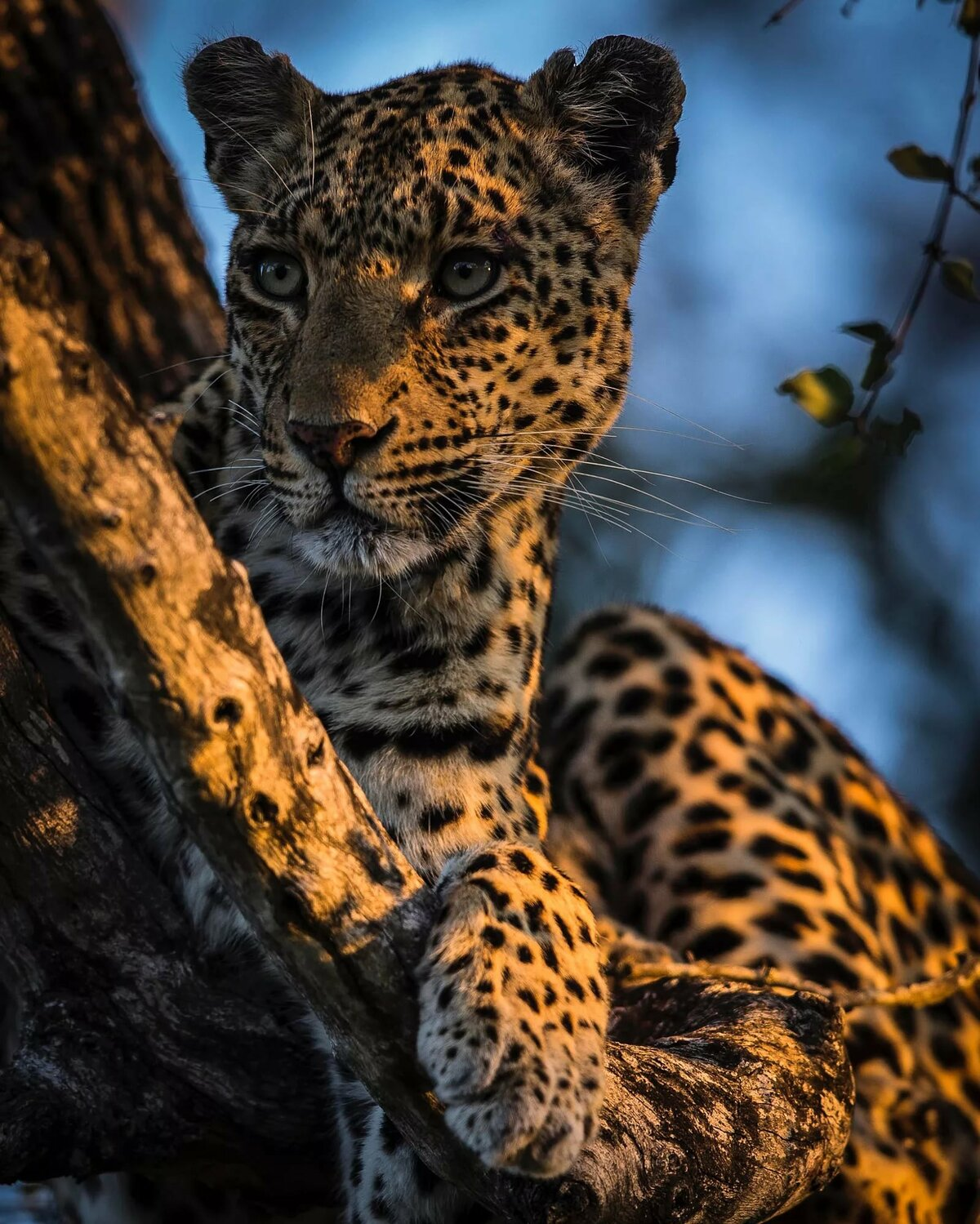 лучшее фото леопарда многие европейцы