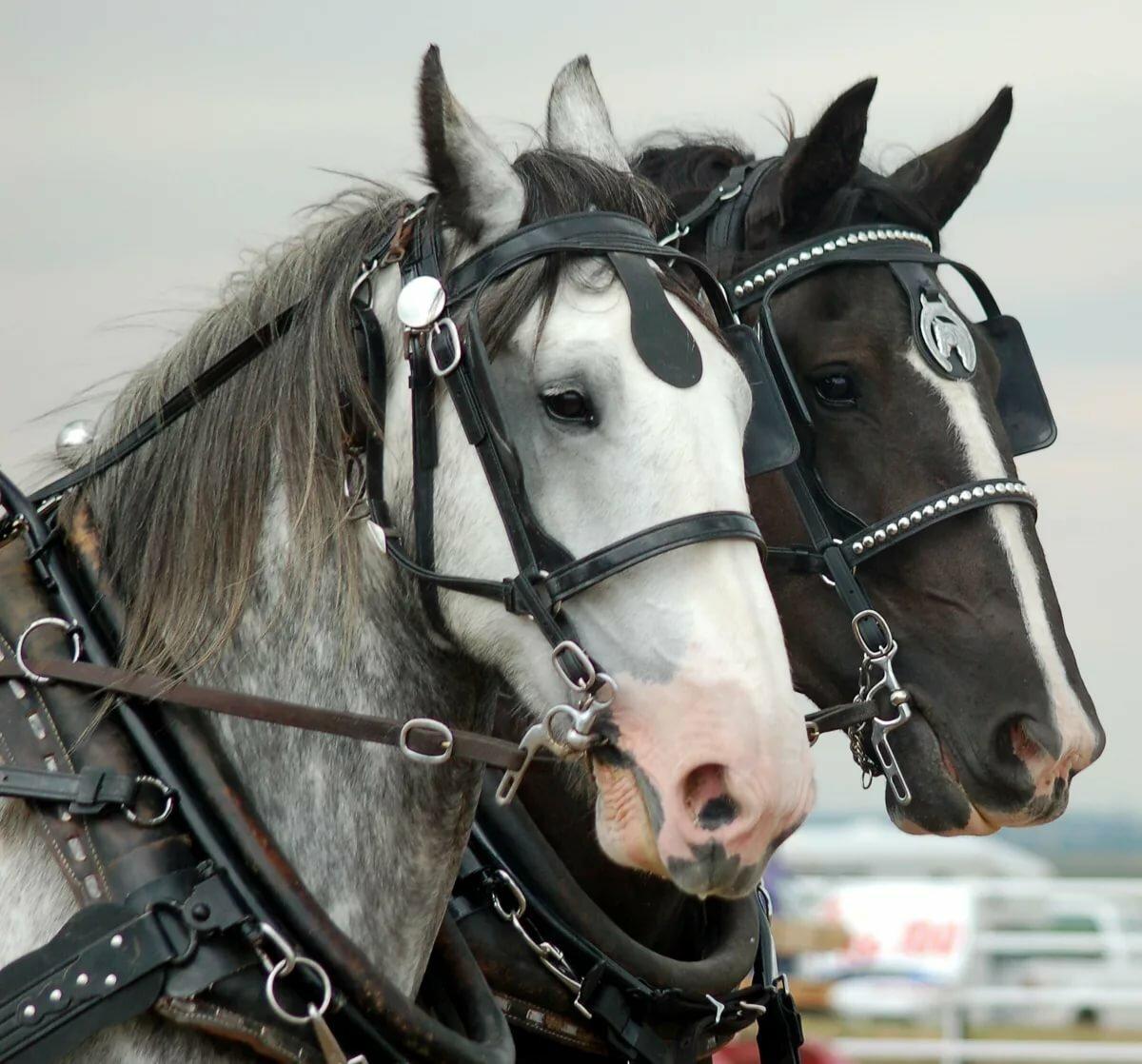 Картинка кони в упряжке