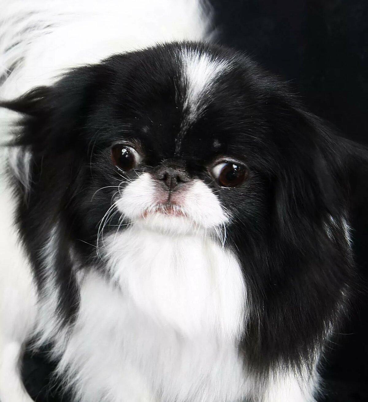 Хины порода собак фото