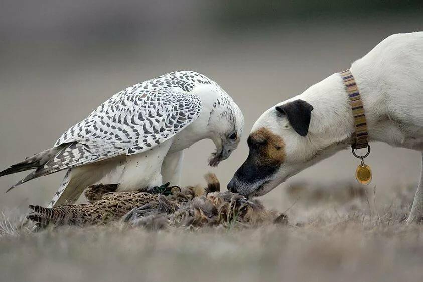 Охотничьи птицы кречеты