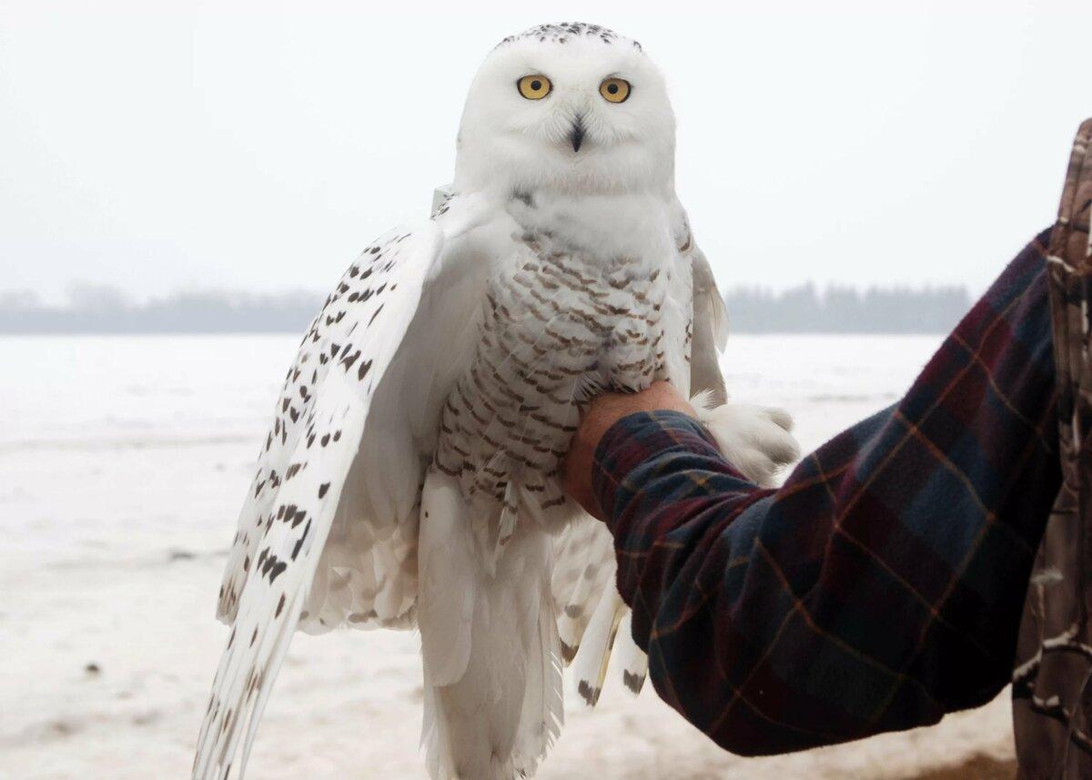 материалы впитывают белая сова севера при приземлении фото это зная, что