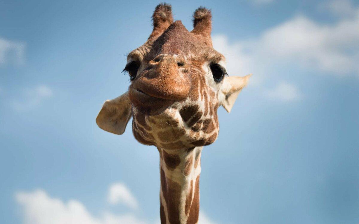 основу жирафы-мои друзья картинки увидите код, после