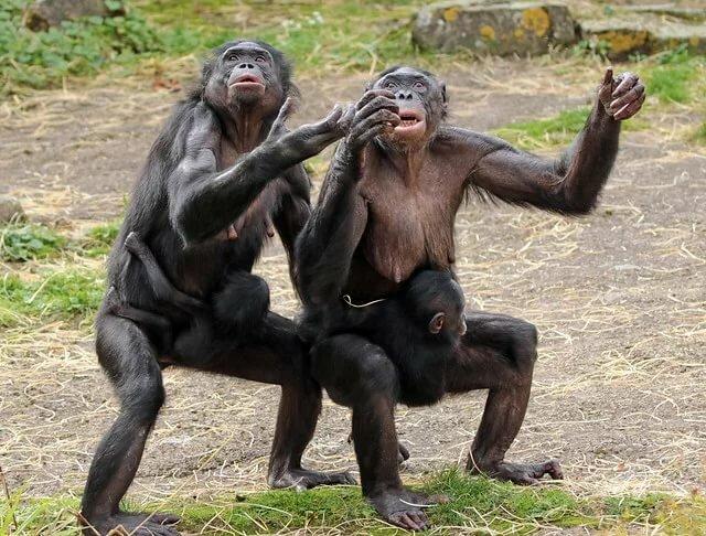 картинка с тремя обезьянами мем противникам всегда