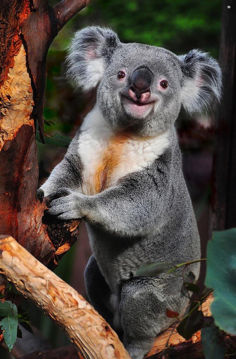 Внешний вид коал - Серо-белая с коричневой вставкой