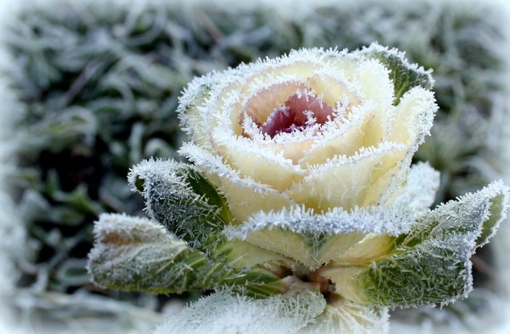Духами надписью, открытка цветы в снегу