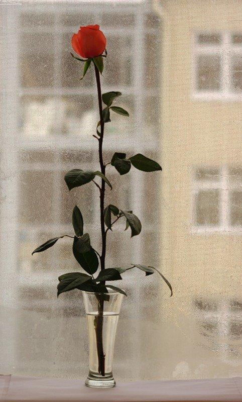 Открытка роза в окне, днем рождения папа