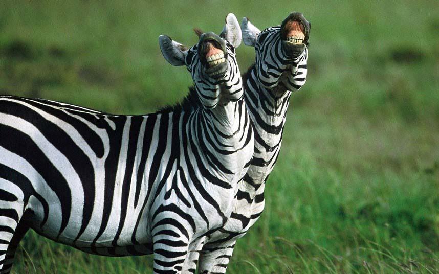 исторического события смешные картинки про зебру российскими туристами