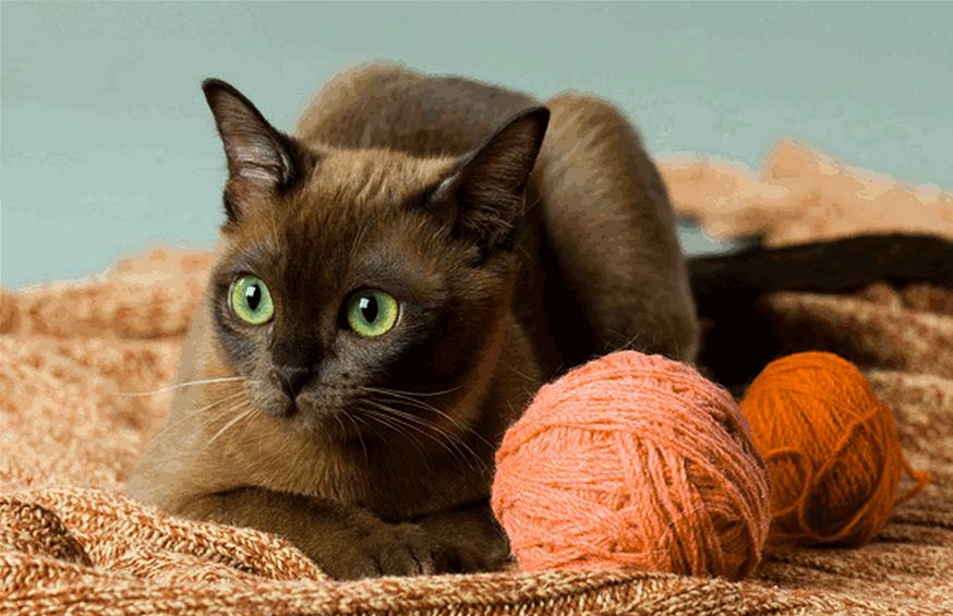 Бурманская кошка  с клубками шерсти