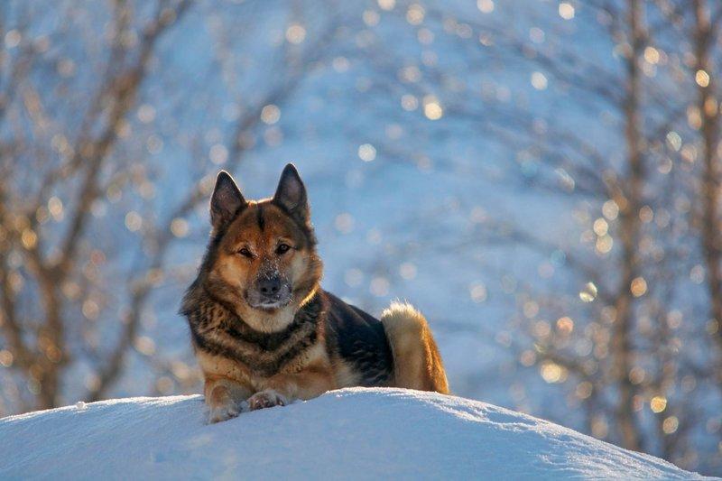 Отменная сообразительность, ловкость и сила собак этой породы была замечена кинологами