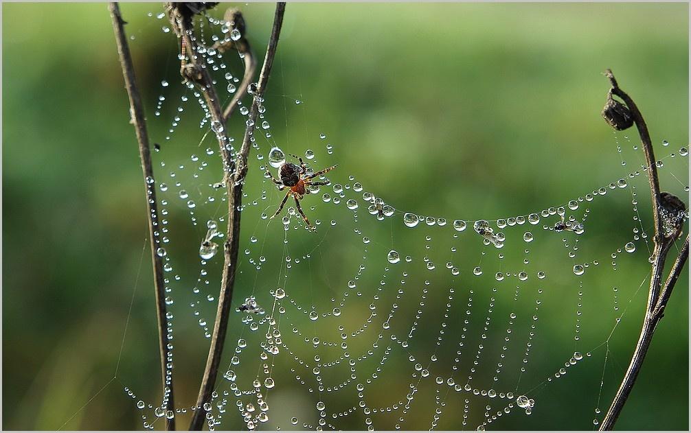 фокс был картинки роса на паутинках макро своем