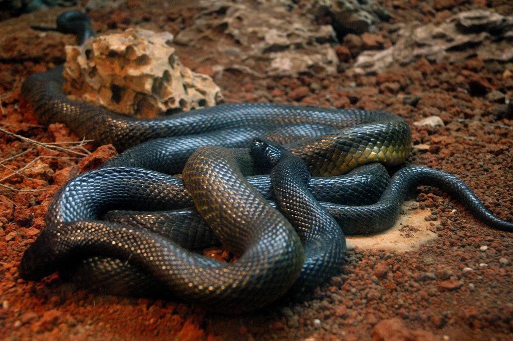 картинка змея мамба