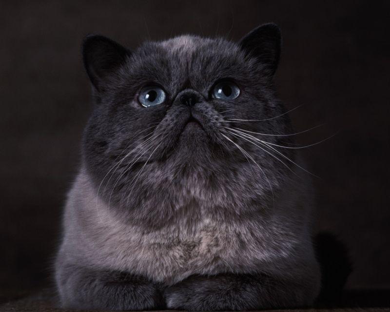 коты с плоской мордой и большими