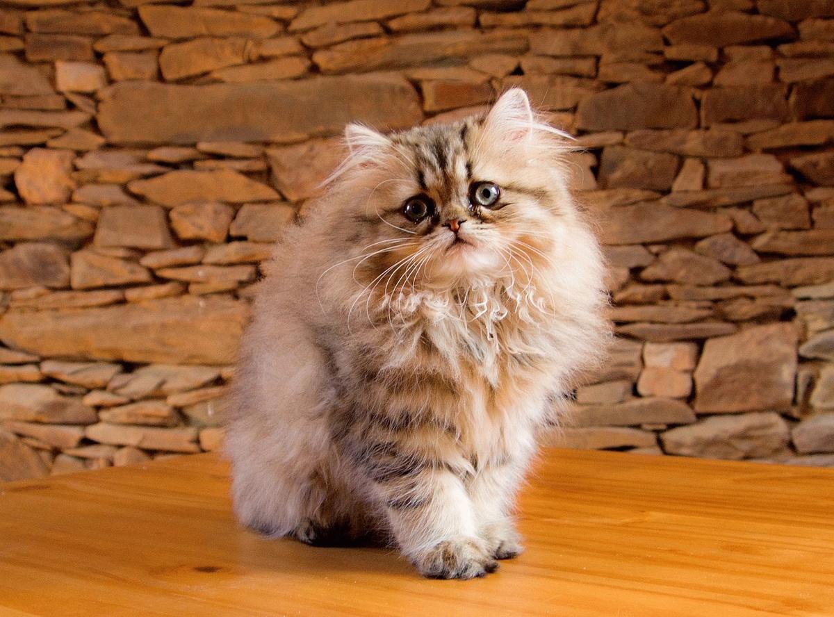 Персидский кот в картинках, весной подснежники