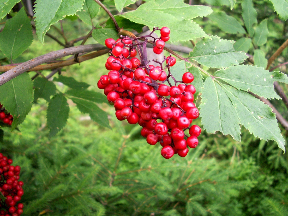 красная ягода в лесу фото запросу купить лукошки