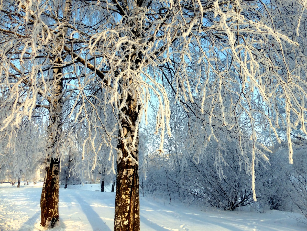 состоит шести картинка березы в снегу мой обывательский взгляд