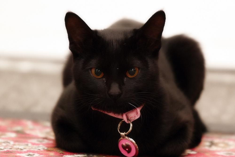 черные коты порода стоит